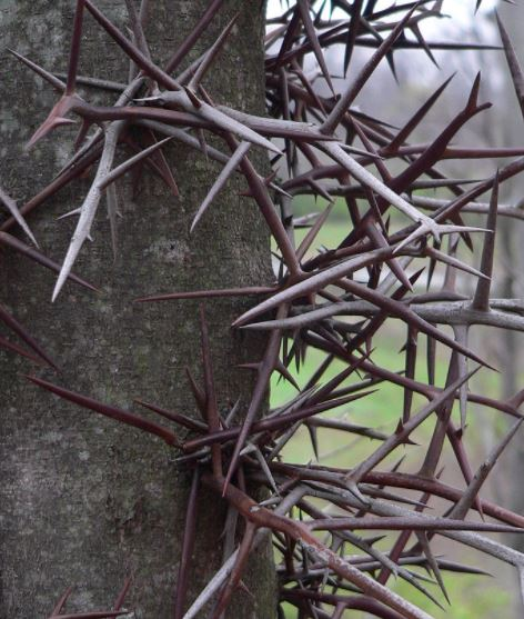 Honey Locust thorns